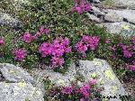 Bujorul de munte (Rhododendron kotschyi)