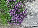 CimbriÂşor de munte (Thymus Serpyllum)