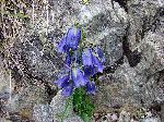 Clopoțelul de munte (Campanula alpina)
