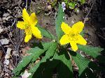 Pastita galbena (Anemone ranunculoides)
