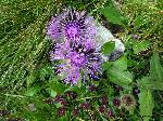 AlbĂŁstricĂŁ (Centaurea montana)