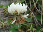 Trifoiul de munte (Trifolium Montanum)