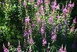 RĂŁchiĂžan (Lythrum salicaria)
