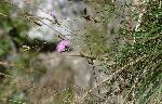 GarofiĂža sĂŁlbaticĂŁ (Dianthus carthusianorum)