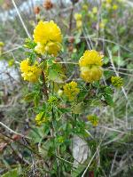 Trifoiaș (Trifolium aureum)