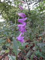 ClopoĂžei  (Campanula rapunculoides)