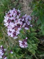 Sovârf (Origanum vulgare)