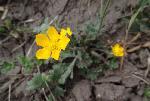 GĂŁlbenele de munte (Ranunculus carpaticus)
