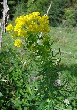 Laptele cucului (Euphorbia cyparissias)