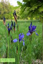 Irisii salbatici de la Vadu